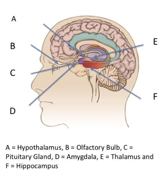 limbic brain